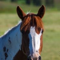 Palouse Horses